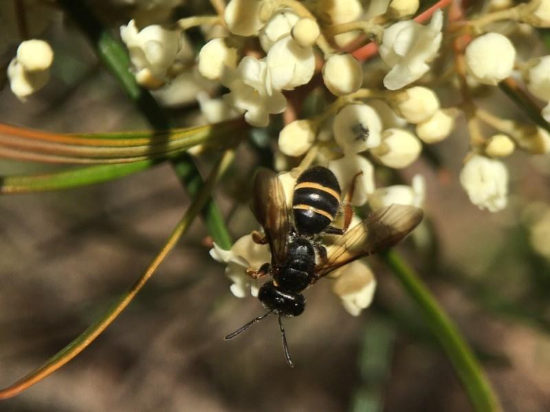 Lasioglossum (Australictus) tertium at ANBG - 14 Sep 2020