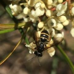 Lasioglossum (Australictus) tertium (Halictid bee) at ANBG - 14 Sep 2020 by PeterA