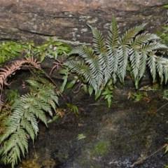 Todea barbara (King fern) at - 14 Sep 2020 by plants