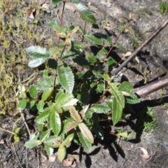 Callicoma serratifolia (Black wattle, Butterwood, Tdgerruing) at Wingecarribee Local Government Area - 14 Sep 2020 by plants