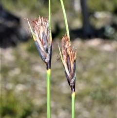 Ptilothrix deusta at Meryla, NSW - 14 Sep 2020 by plants