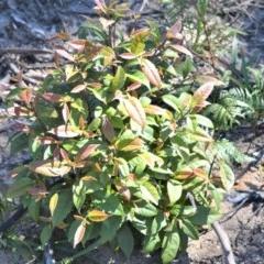 Elaeocarpus reticulatus (Blueberry Ash) at Wingecarribee Local Government Area - 14 Sep 2020 by plants