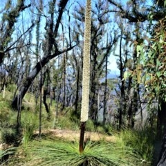 Xanthorrhoea australis (Austral Grass-tree) at Wingecarribee Local Government Area - 14 Sep 2020 by plants