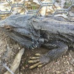 Pogona barbata (Eastern Bearded Dragon) at Mulligans Flat - 14 Sep 2020 by CedricBear