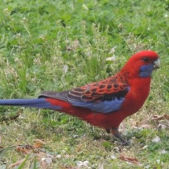 Platycercus elegans (Crimson Rosella) at Conder, ACT - 6 Sep 2014 by michaelb