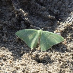 Metallochlora neomela (An Emerald moth) at Broulee Island Nature Reserve - 5 Sep 2020 by HelenR