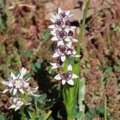 Wurmbea dioica subsp. dioica (Early Nancy) at Woodstock Nature Reserve - 14 Sep 2020 by RodDeb