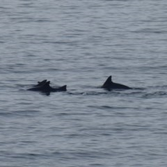 Unidentified Dolphin (TBC) at Batemans Marine Park - 13 Sep 2020 by HelenR