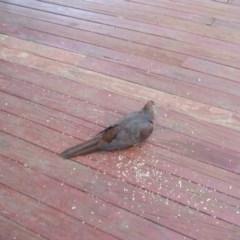 Macropygia phasianella (Brown Cuckoo-dove) at Penrose - 14 Sep 2020 by Tsu