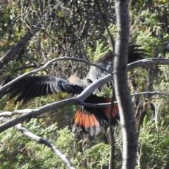 Calyptorhynchus lathami (Glossy Black-Cockatoo) at Mount Jerrabomberra - 6 Apr 2020 by Liam.m