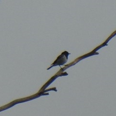 Melanodryas cucullata (Hooded Robin) at Gigerline Nature Reserve - 22 Feb 2020 by Liam.m