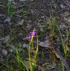 Glossodia major (Wax Lip Orchid) at Nail Can Hill - 14 Sep 2020 by erika