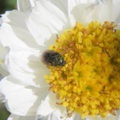 Dermestidae sp. (family) (Dermestid, carpet or hide beetles) at Macarthur, ACT - 15 Sep 2020 by RodDeb