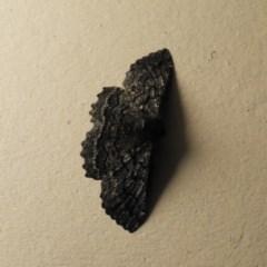 Melanodes anthracitaria (Black Geometrid) at Long Beach, NSW - 12 Sep 2020 by MatthewFrawley