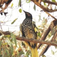 Anthochaera phrygia (Regent Honeyeater) at Watson, ACT - 15 Jan 2020 by Liam.m