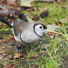 Taeniopygia bichenovii (Double-barred Finch) at Pialligo, ACT - 15 Mar 2020 by Liam.m