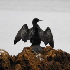Phalacrocorax sulcirostris (Little Black Cormorant) at Batemans Marine Park - 12 Sep 2020 by MatthewFrawley
