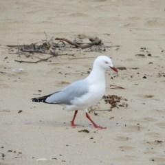 Chroicocephalus novaehollandiae (Silver Gull) at Long Beach, NSW - 14 Sep 2020 by MatthewFrawley