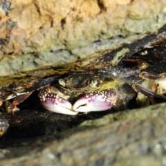 Leptograpsus variegatus (Leptograpsus variegatus) at Batemans Marine Park - 14 Sep 2020 by MatthewFrawley