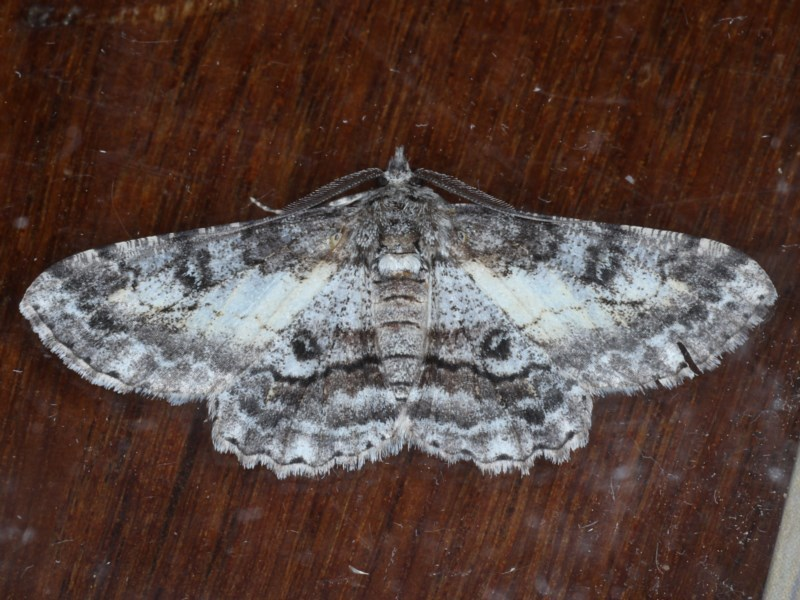Cleora displicata at Ainslie, ACT - 14 Sep 2020