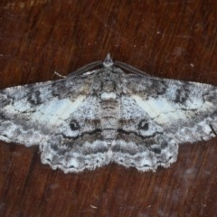 Cleora displicata (A Geometrid moth) at Ainslie, ACT - 14 Sep 2020 by jbromilow50