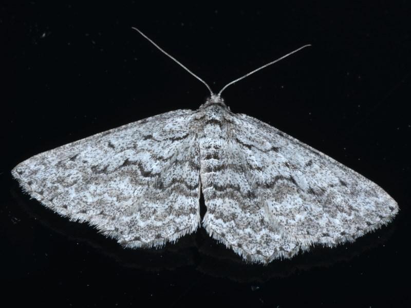 Psilosticha absorpta at Ainslie, ACT - 14 Sep 2020