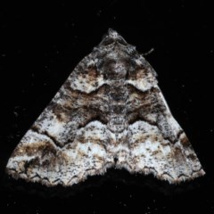Gastrina cristaria (Wave-lined Geometrid) at Ainslie, ACT - 14 Sep 2020 by jbromilow50
