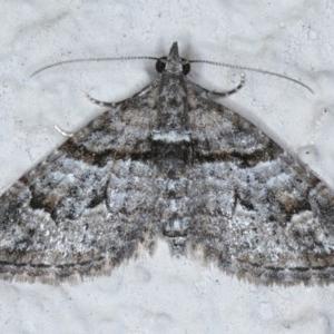 Phrissogonus laticostata at Ainslie, ACT - 14 Sep 2020