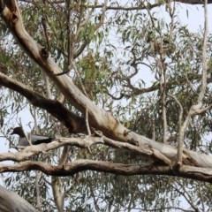 Chenonetta jubata (Australian Wood Duck) at Kambah, ACT - 14 Sep 2020 by HelenCross