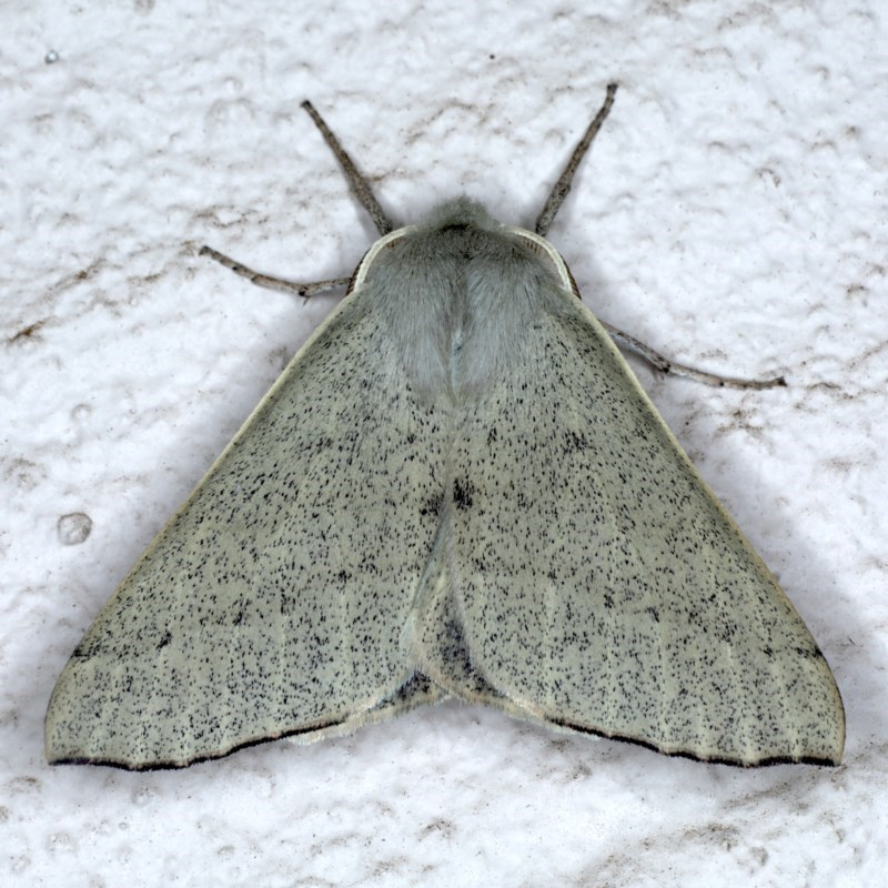 Oenochroma subustaria at Ainslie, ACT - 14 Sep 2020