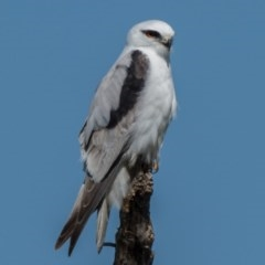 Elanus axillaris (Black-shouldered Kite) at Jerrabomberra Wetlands - 15 Sep 2020 by patrickcox