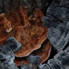 zz Polypore (shelf/hoof-like) at Hughes Grassy Woodland - 13 Sep 2020 by LisaH