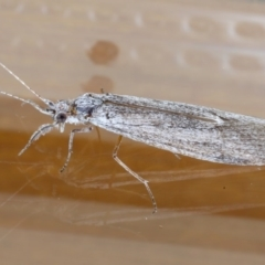 Leptoceridae sp. (family) at Ainslie, ACT - 15 Sep 2020