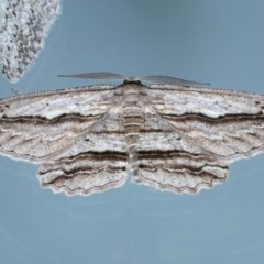Euphronarcha luxaria (Striated Bark Moth) at Ainslie, ACT - 15 Sep 2020 by jbromilow50