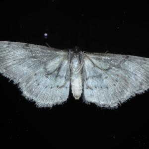 Phelotis cognata at Ainslie, ACT - 15 Sep 2020