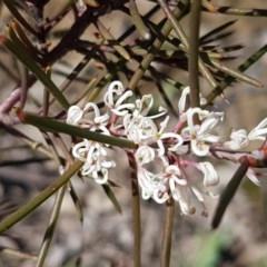 Hakea decurrens (Bushy Needlewood) at Gungaderra Grasslands - 16 Sep 2020 by tpreston