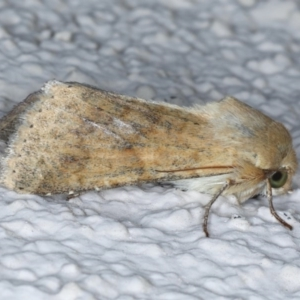 Helicoverpa (genus) at Ainslie, ACT - 15 Sep 2020