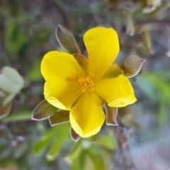 Hibbertia obtusifolia (Grey Guinea-flower) at Majura, ACT - 15 Sep 2020 by tpreston