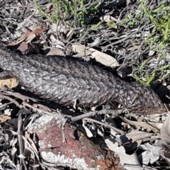 Tiliqua rugosa (Shingleback) at Majura, ACT - 15 Sep 2020 by tpreston