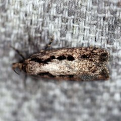 Barea bathrochorda (A Concealer moth) at O'Connor, ACT - 15 Sep 2020 by ibaird
