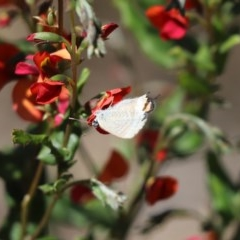 Lampides boeticus (Long-tailed Pea-blue) at ANBG - 16 Sep 2020 by Tammy