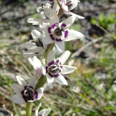 Wurmbea dioica subsp. dioica (Early Nancy) at Reid, ACT - 15 Sep 2020 by JanetRussell