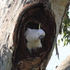 Cacatua galerita (Sulphur-crested Cockatoo) at Hughes Grassy Woodland - 8 Sep 2020 by JackyF