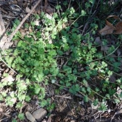 Veronica persica (Creeping Speedwell) at Hughes Grassy Woodland - 7 Sep 2020 by JackyF