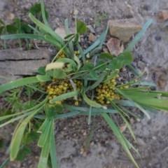 Lomandra bracteata (Small Matrush) at Deakin, ACT - 14 Sep 2020 by JackyF