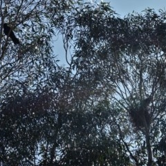 Corvus coronoides (Australian Raven) at Red Hill Nature Reserve - 7 Sep 2020 by JackyF