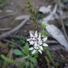 Wurmbea dioica subsp. dioica (Early Nancy) at Red Hill Nature Reserve - 5 Sep 2020 by JackyF