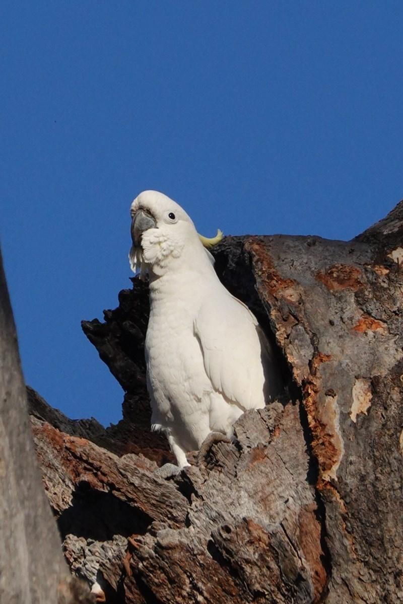 Cacatua galerita at Red Hill Nature Reserve - 5 Sep 2020