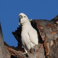 Cacatua galerita (Sulphur-crested Cockatoo) at Red Hill Nature Reserve - 5 Sep 2020 by JackyF