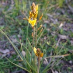 Bulbine bulbosa (Golden Lily) at Red Hill Nature Reserve - 5 Sep 2020 by JackyF